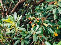 Arbustos e árvores Pittosporum em Montenegro Ajardinando o projeto o Foto de Stock Royalty Free