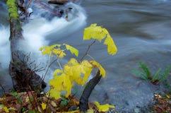 Arbustos en colores de la caída por el banco de una corriente hinchada Imagen de archivo libre de regalías