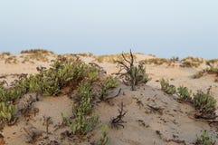 Arbustos en el desierto del Mar Rojo Foto de archivo libre de regalías