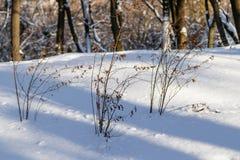 Arbustos en la nieve Fotos de archivo