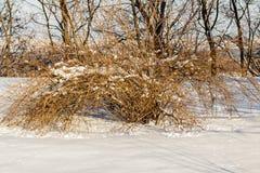 Arbustos en la nieve Imágenes de archivo libres de regalías