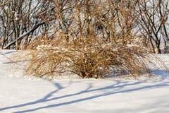 Arbustos en la nieve Imagenes de archivo
