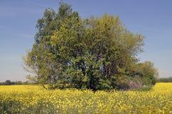 Arbustos en un campo de la violación Fotografía de archivo libre de regalías