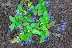 Arbustos enanos de los arándanos con las frutas maduras cultivadas en jardín Foto de archivo libre de regalías