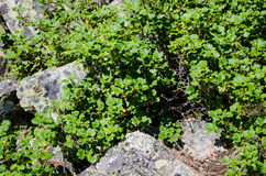 Arbustos entre as rochas Fotografia de Stock