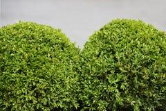 Arbustos esféricos del boj Fotos de archivo