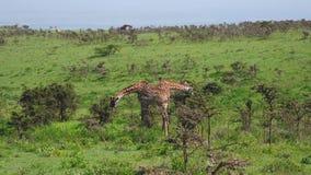 Arbustos espinosos de Graze Leaves In Thickets Of de las jirafas en un pasto verde en ?frica almacen de metraje de vídeo