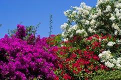 Arbustos florecidos Fotografía de archivo libre de regalías