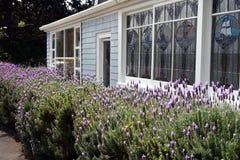 Arbustos florecientes de la lavanda imagenes de archivo