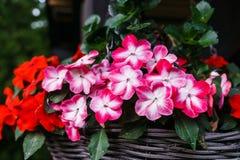 Arbustos florecientes multicolores del bálsamo en una maceta imágenes de archivo libres de regalías