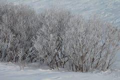 Arbustos helados en nieve Imagenes de archivo