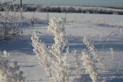 Arbustos hermosos de la hierba en la nieve en el sol del invierno Fotografía de archivo
