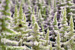 Arbustos hermosos del Astilbe de las flores con panicles verdes mullidos y una abeja del manosear en la flor, fondo agradable Fotos de archivo libres de regalías