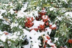 Arbustos imperecederos con las bayas rojas cubiertas en nieve fotos de archivo libres de regalías