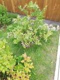 Arbustos jovenes de bayas americanas con kilogramos de bayas grandes y con sabor a fruta listas para coger  foto de archivo
