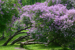 Arbustos lilás Imagem de Stock