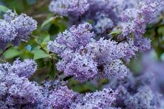 Arbustos lilás enormes Imagem de Stock