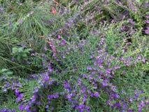 Arbustos púrpuras minúsculos tropicales de las flores imagenes de archivo