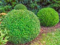 Arbustos redondos foto de archivo