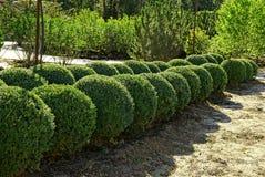Arbustos redondos decorativos en el jardín del verano Fotos de archivo libres de regalías