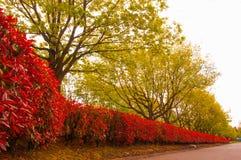 Arbustos rojos en la caída Imagen de archivo libre de regalías