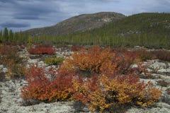 Arbustos rojos y amarillos del abedul enano en otoño Imagen de archivo libre de regalías