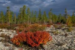 Arbustos rojos y amarillos del abedul enano en otoño Fotografía de archivo