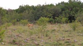 Arbustos salvajes adultos de Lion Walking Out Of The de árboles verdes en la sabana africana 4K almacen de metraje de vídeo
