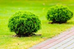 Arbustos sempre-verdes redondos que crescem no gramado verde fotografia de stock