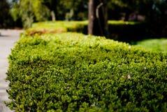 Arbustos verdes Imagem de Stock Royalty Free