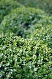 Arbustos verdes aparados fotos de stock