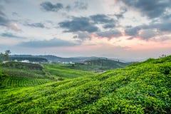 Arbustos verdes claros jovenes hermosos del té y cielo colorido de la puesta del sol Fotos de archivo libres de regalías