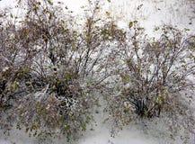 Arbustos verdes cubiertos por la nieve foto de archivo libre de regalías