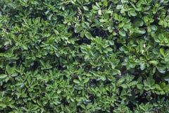 Arbustos verdes del laurel Foto de archivo libre de regalías