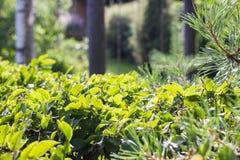 Arbustos verdes del verano Fotos de archivo libres de regalías