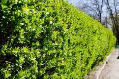 arbustos Arbustos verdes Arbustos exactamente arreglados con las pequeñas hojas verdes Arbustos de la primavera imagenes de archivo