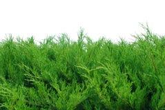 Arbustos verdes isolados no branco Fotografia de Stock