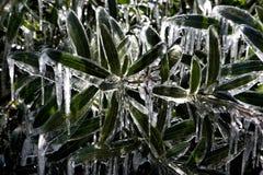 Arbustos verdes no gelo. Fotos de Stock