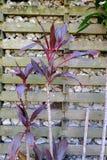 Arbustos vermelhos e verdes altos da folha Foto de Stock