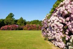 Arbustos y árboles de la flor del rododendro en un jardín Imagenes de archivo