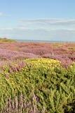Arbustos y brezo en tierras inglesas Fotos de archivo libres de regalías