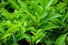 Arbustos y brotes del ?rbol del t? foto de archivo libre de regalías