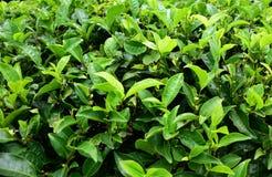 Arbustos y brotes del ?rbol del t? fotografía de archivo libre de regalías