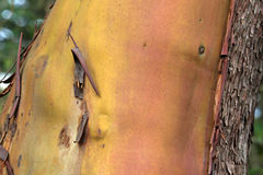 Arbutus Bark Royalty Free Stock Photo