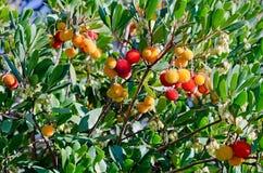 Arbutus. Beautiful tree - ripe fruit on the arbutus Royalty Free Stock Photos