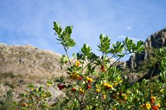 Arbutus with berries. An Arbutus with ripe berries in the National Park of Peneda-Geres, Portugal Stock Photography