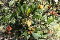 Arbutus Berry Fruit. Arbutus arbutus unedo are small trees or shrubs native to warm temperate Mediterranean regions, with red flaking bark and edible red berries Stock Photos