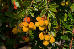 Arbutus branches. With red berries and green leaves, Spain Royalty Free Stock Images
