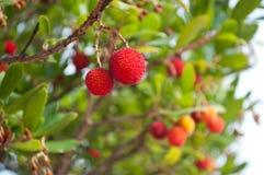 Arbutus. Closeup of arbutus fruit in tree Stock Image