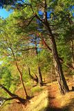 Arbutus drzewa i Douglas jodły wzdłuż Nabrzeżnego Wycieczkuje śladu, Campbell punkt, zatok wysp park narodowy, kolumbia brytyjska zdjęcia stock
